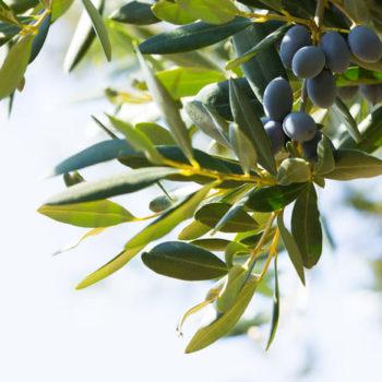 epoca poda olivo