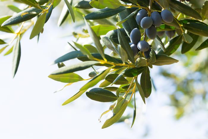 Época de poda del olivo