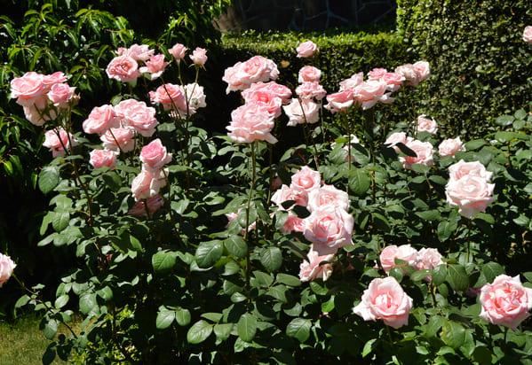 podar rosales paso a paso